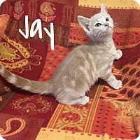 Domestic Shorthair Kitten for adoption in Harrisville, West Virginia - Jay