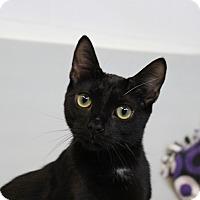 Adopt A Pet :: Snowshoe aka TJ - Sarasota, FL