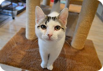 Domestic Shorthair Kitten for adoption in St. Charles, Missouri - Roly Poly