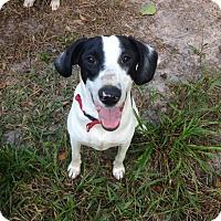 Pointer/Hound (Unknown Type) Mix Dog for adoption in Groveland, Florida - Rio