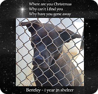 Australian Kelpie/Jindo Mix Dog for adoption in Sautee, Georgia - Bentley