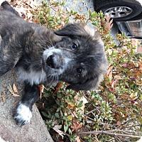 Adopt A Pet :: Baby Kix - Adoption pending - Rockville, MD
