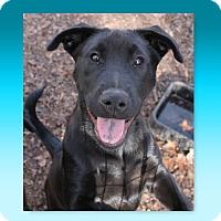 German Shepherd Dog/Chow Chow Mix Puppy for adoption in McDonough, Georgia - AJ