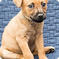 Adopt A Pet :: Baby Nutmeg - Miami, FL
