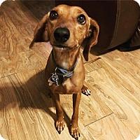 Adopt A Pet :: Blossom - Wylie, TX
