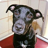 Adopt A Pet :: Layla - Allison Park, PA