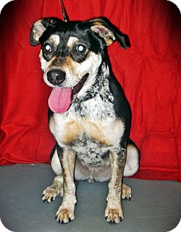 Australian Cattle Dog Mix Dog for adoption in Prole, Iowa - Mylie