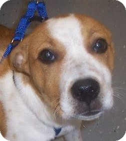 Cattle Dog Mix Puppy for adoption in Georgetown, Kentucky - Truman
