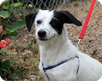 Jack Russell Terrier Mix Dog for adoption in Bradenton, Florida - Winston