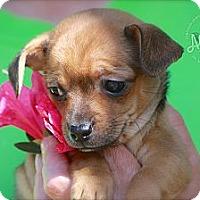 Adopt A Pet :: Missy - Albany, NY