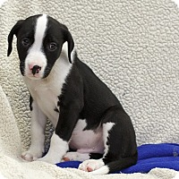 Adopt A Pet :: Calais - Ile-Perrot, QC