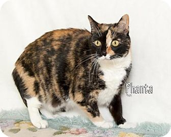 Calico Cat for adoption in Fort Mill, South Carolina - Phanta 5364