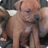 Adopt A Pet :: Sage - Copperas Cove, TX