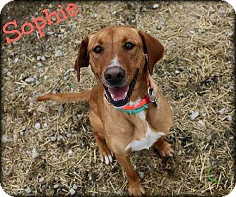 Labrador Retriever Mix Dog for adoption in Jasper, Indiana - Sophie