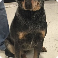Adopt A Pet :: Ringo - Texico, IL