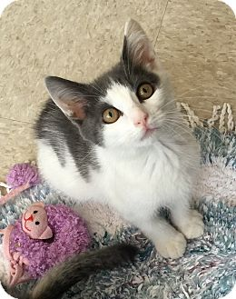 Domestic Shorthair Kitten for adoption in Island Park, New York - Timmy