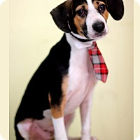 Adopt A Pet :: Snoopy - Dalton, GA