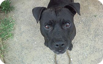 English Bulldog/Pit Bull Terrier Mix Dog for adoption in Grantville, Pennsylvania - Mugsy