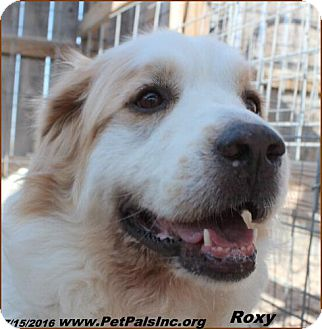 Great Pyrenees Mix Dog for adoption in Hawk Springs, Wyoming - Roxy