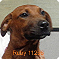 Adopt A Pet :: Ruby - baltimore, MD