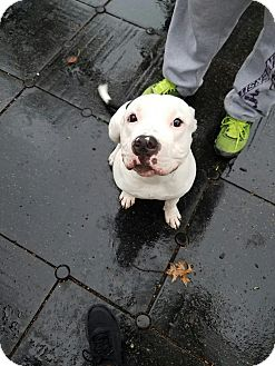 Pit Bull Terrier Mix Dog for adoption in New York, New York - Polo