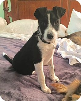 Fox Terrier (Wirehaired)/Terrier (Unknown Type, Small) Mix Puppy for adoption in Atlanta, Georgia - Cleo