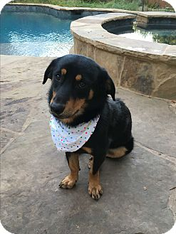 Shepherd (Unknown Type)/Corgi Mix Dog for adoption in San Antonio, Texas - Shyla