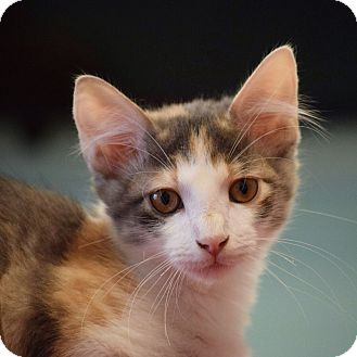 Domestic Shorthair Kitten for adoption in Dallas, Texas - Hazel