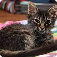 Domestic Shorthair Kitten for adoption in Joplin, Missouri - Godiva