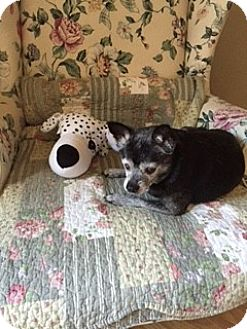 Chihuahua Dog for adoption in Madison, Wisconsin - Talullah:Needs gentle touch CT