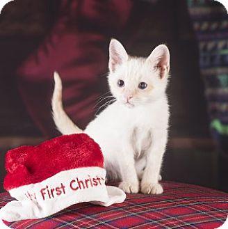 Domestic Shorthair Kitten for adoption in Clarksville, Arkansas - Salt