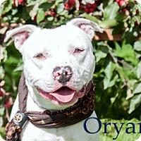 Adopt A Pet :: Oryan - Hamilton, MT