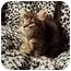 Photo 1 - Domestic Longhair Cat for adoption in Spencer, New York - Zephyr