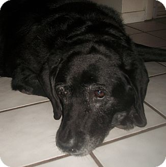 Labrador Retriever Dog for adoption in Holmes Beach, Florida - Dakota