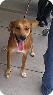 Labrador Retriever/German Shepherd Dog Mix Dog for adoption in Miami, Florida - Champ