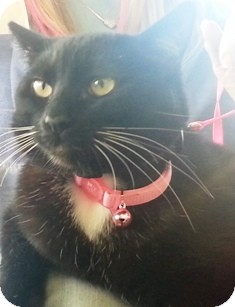 Domestic Shorthair Cat for adoption in Pasadena, California - Luna