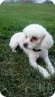 Bichon Frise/Poodle (Toy or Tea Cup) Mix Dog for adoption in Las Vegas, Nevada - Star