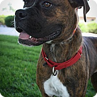 Adopt A Pet :: Merica - Broomfield, CO