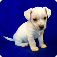Adopt A Pet :: Nougat Puppy - Encino, CA