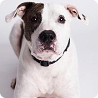 Adopt A Pet :: Petey - Armonk, NY