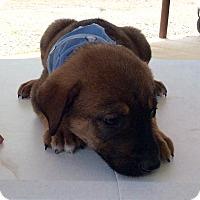 Rottweiler/Labrador Retriever Mix Puppy for adoption in Burlington, Vermont - Frankie