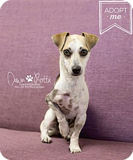 Dachshund/Chihuahua Mix Dog for adoption in Phoenix, Arizona - Blaze