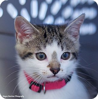 Domestic Shorthair Kitten for adoption in Nashville, Tennessee - Darby
