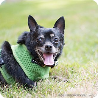 Chihuahua Mix Dog for adoption in East Hartford, Connecticut - Bubba