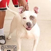 American Pit Bull Terrier Mix Dog for adoption in Fredericksburg, Virginia - Ladybug