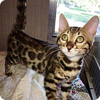 Adopt A Pet :: I'M ADOPT Bengals Chester Chee - Oswego, IL