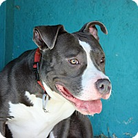 American Staffordshire Terrier/Terrier (Unknown Type, Medium) Mix Dog for adoption in Troy, Michigan - Boot Camp