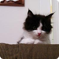 Domestic Longhair Kitten for adoption in San Francisco, California - Fay