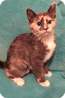 Domestic Shorthair Kitten for adoption in Grove City, Ohio - Bly