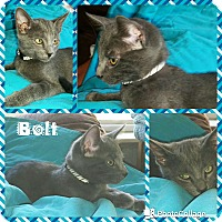 Adopt A Pet :: Bolt - Arlington/Ft Worth, TX